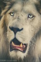 Portrait of a lion by Piroshki-Photography