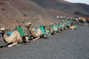 Camels, Lanzarote by BEH1NDTHET1MES