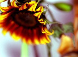 sunflower by caleum
