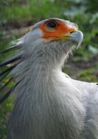 Secretary Bird by Canislupuscorax