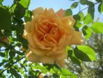 yellow rose by Geishatron