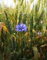CORNFLOWER. by panna-poziomka