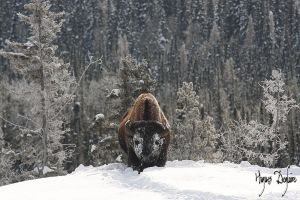 Wood Buffalo in the Snow by Robin-Hugh