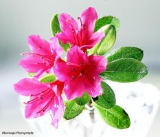 Focus Stacking Azalea by Okavanga
