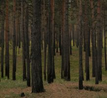 Deep pine forest by gmarv1n