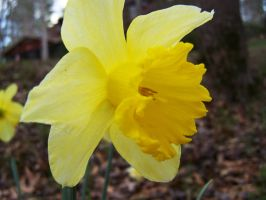 daffodil no1 by LilithsSmile