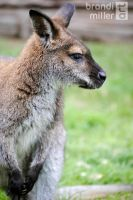 Wallaby by Strange-1