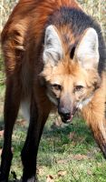 Maned Wolf I by LHufford