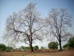Bhopali trees by robinlouis