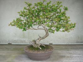 bonsai 1.1 by meihua-stock