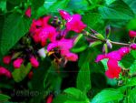 Bumblebee in pink flowers by jessieo-photography