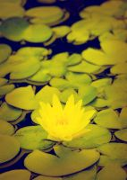 Waterlily Yellow II by Foxytocin