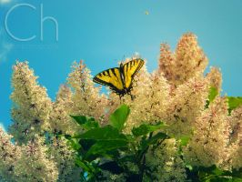 Butterfly by Champineography