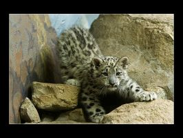 Baby Snow Leopard 2 by acojon