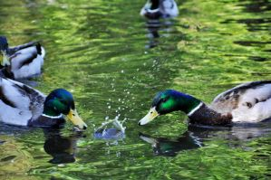 ducks by Northern-beauty
