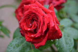 Red rose for the french cops couple killed by A1Z2E3R