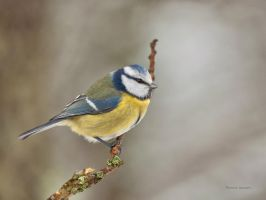 A Blue tit resting for some sec by roisabborrar