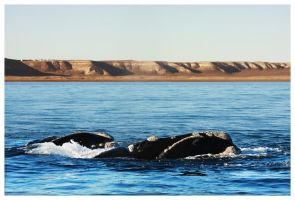 Ballena Franca Austral 3 by lil0
