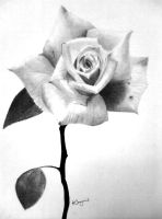 Live drawing rose by reggy66