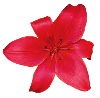 Red Flower PNG.. by WelshDragonStockNArt
