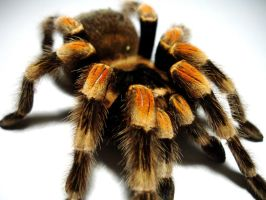 Red Knee Tarantula 5 by designerdragon