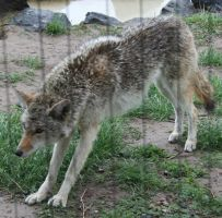 Pocatello Zoo 13 Coyote by Falln-Stock