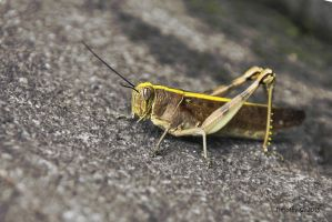 Yellow Grasshopper XL by TimothyG81