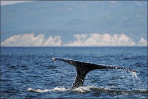 Humpback whale by Louvargent