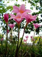 Towering Pink Flowers by richardxthripp
