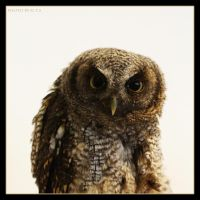 Little Owl 1 by Globaludodesign