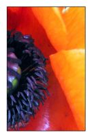 Poppy Middle Colour by friedmoonthing