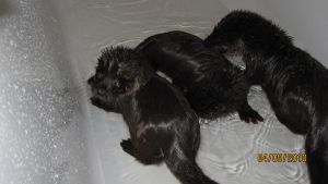 baby otters I by Liedeke