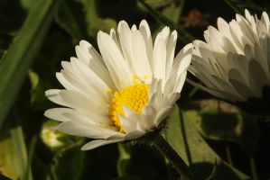 daisies by marob0501