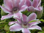 Clematis by larkinh