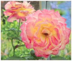 Roses of joy by Nameda