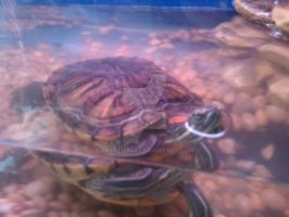 Red Eared Slider in Aquarium by Charlief43