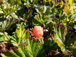 cloudberry by pekauppi