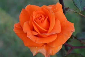 Orange Rose 4 by ZeeShiKing