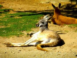 Relaxing Kangaroo by Yaehara