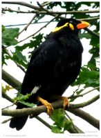 Hill Myna aka Gracula by In-the-picture