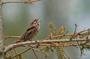 Song Sparrow...er...'song-ing' by BirdinByNoon