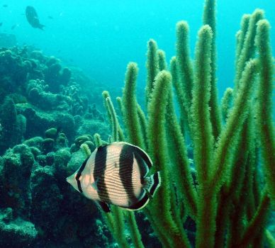 Banded butterflyfish by g--f