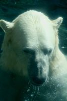 NM polar bear by sarabil1