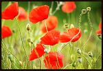 TH E POPPY IN FRANCE by IlonavanderWeyden