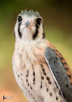 American Kestrel 8 by EdgedFeather