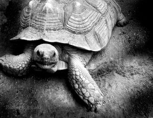 tortoise by RRfantasia