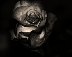 Roses series. Charred by hallowShade
