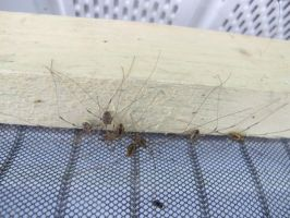 Cluster of Daddy Longlegs 2 by Windthin