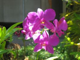 Fuschia Orchids by panhead121