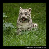 Baby Snow Leopard: Tasty V by TVD-Photography